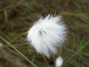 Fluffy-Blume